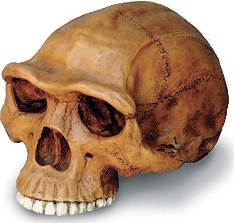 0248 Homo Erectus Cranium by Skullduggery