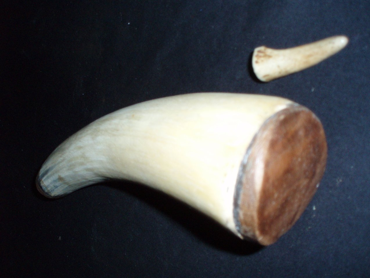 Gun Black powder horn steer horn  Vintage