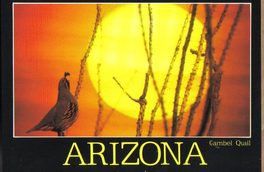 Arizona Gambel Quail Picture Postcard