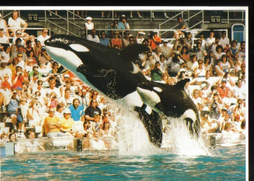 Killer Whales at Sea World, Florida Postcard