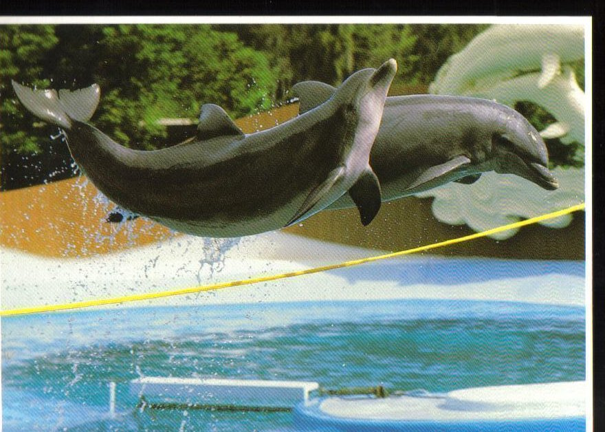 Dolphins at Sea World, Florida Postcard