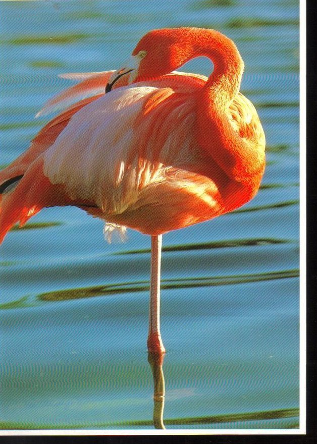 Flamingo at Sea World, Florida Postcard