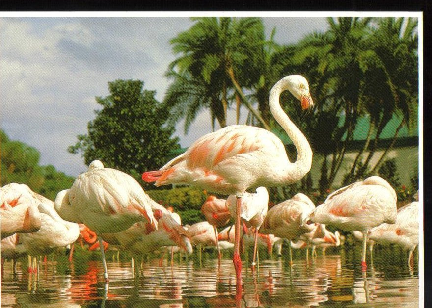 Flamingo's at SeaWorld, Florida Postcard