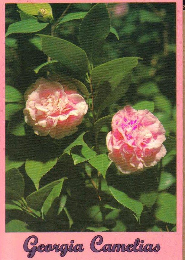 Georgia Camelias Flowers Postcard