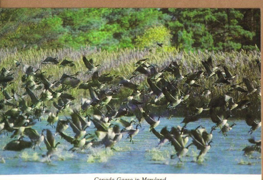 Canadian Geese, Eastern Shore of Maryland Postcard
