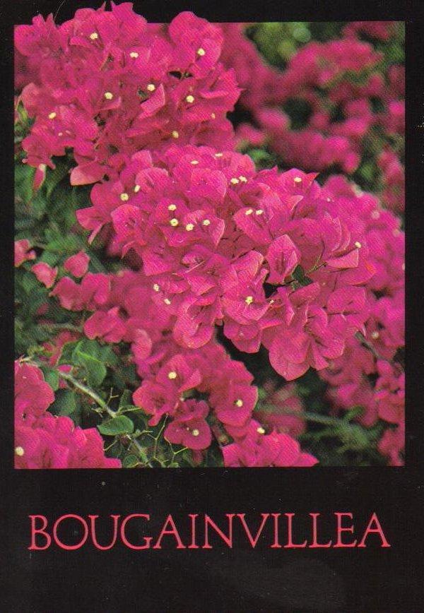 Bougainvillea Flower Postcard