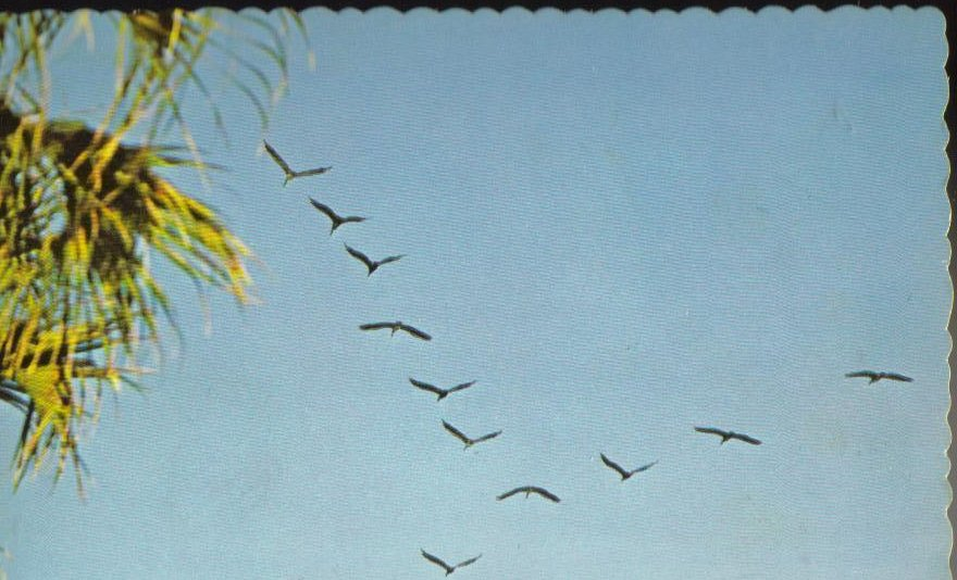 Brown Pelicans in Flight South Carolina Postcard