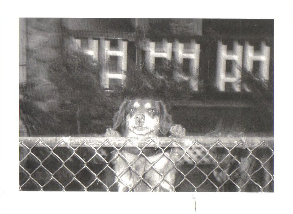 Another Guard Dog at the fence Dog Postcard