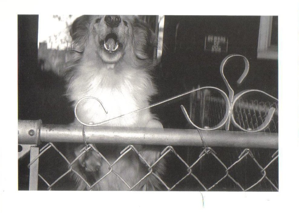 Guard Dog at Fence Dog Theme Postcard