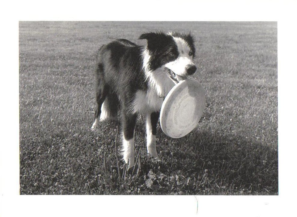 Dog playing with Frisbee Dog Postcard