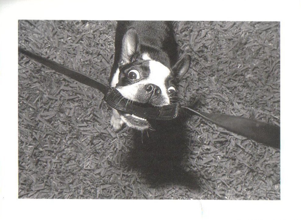 Florida Dog with Camera Strap Boston Terrier Postcard