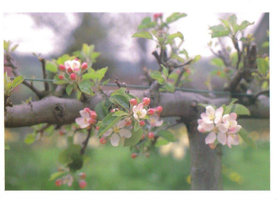 Monets Gardens Series Apple Blossoms Postcard