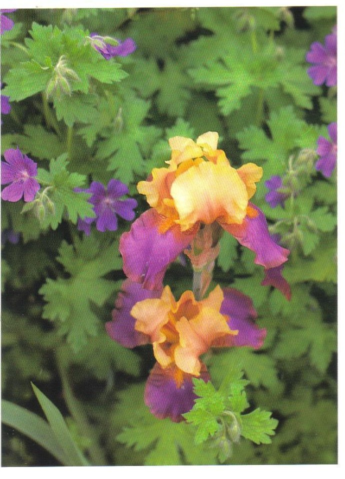 Monets Gardens Series Bearded Iris Postcard