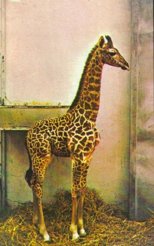 Giraffe, National Zoo Postcard