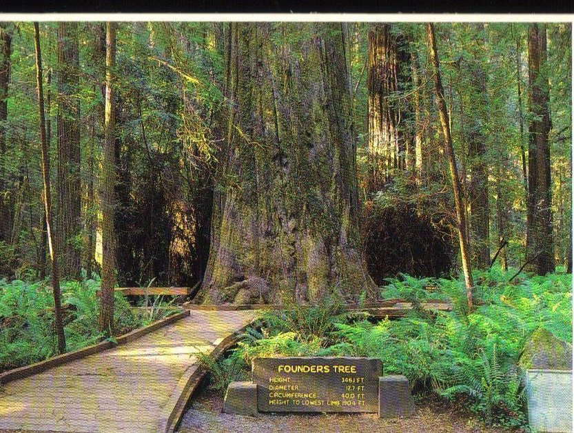 Founders Tree Giant Redwood California Postcard