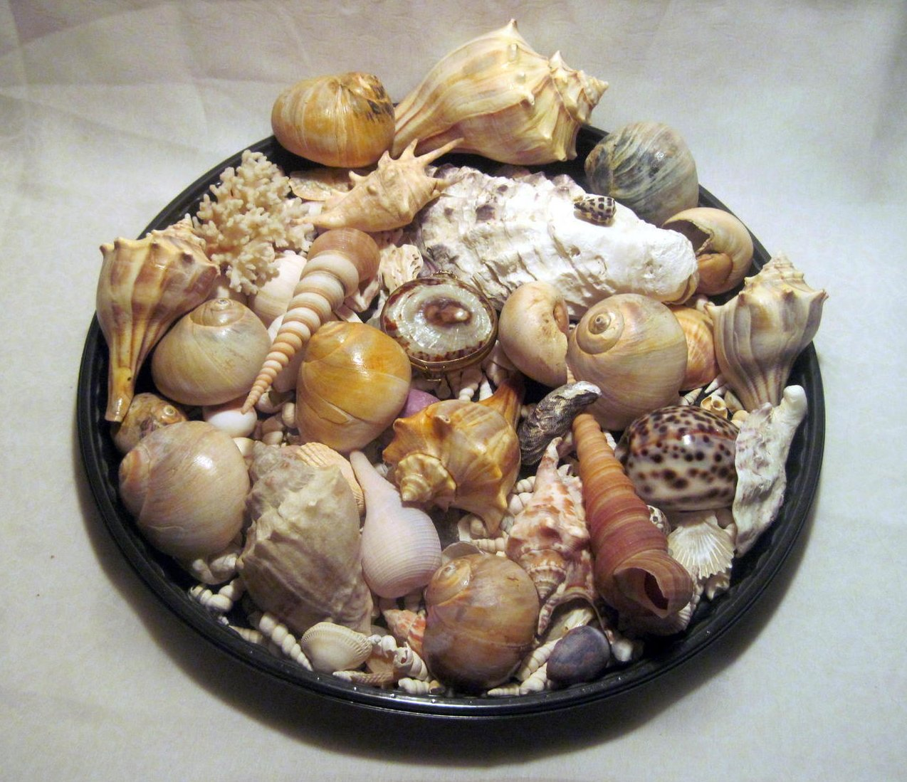 Sea Shell Collection Aquarium Crafts Decor Large Lot