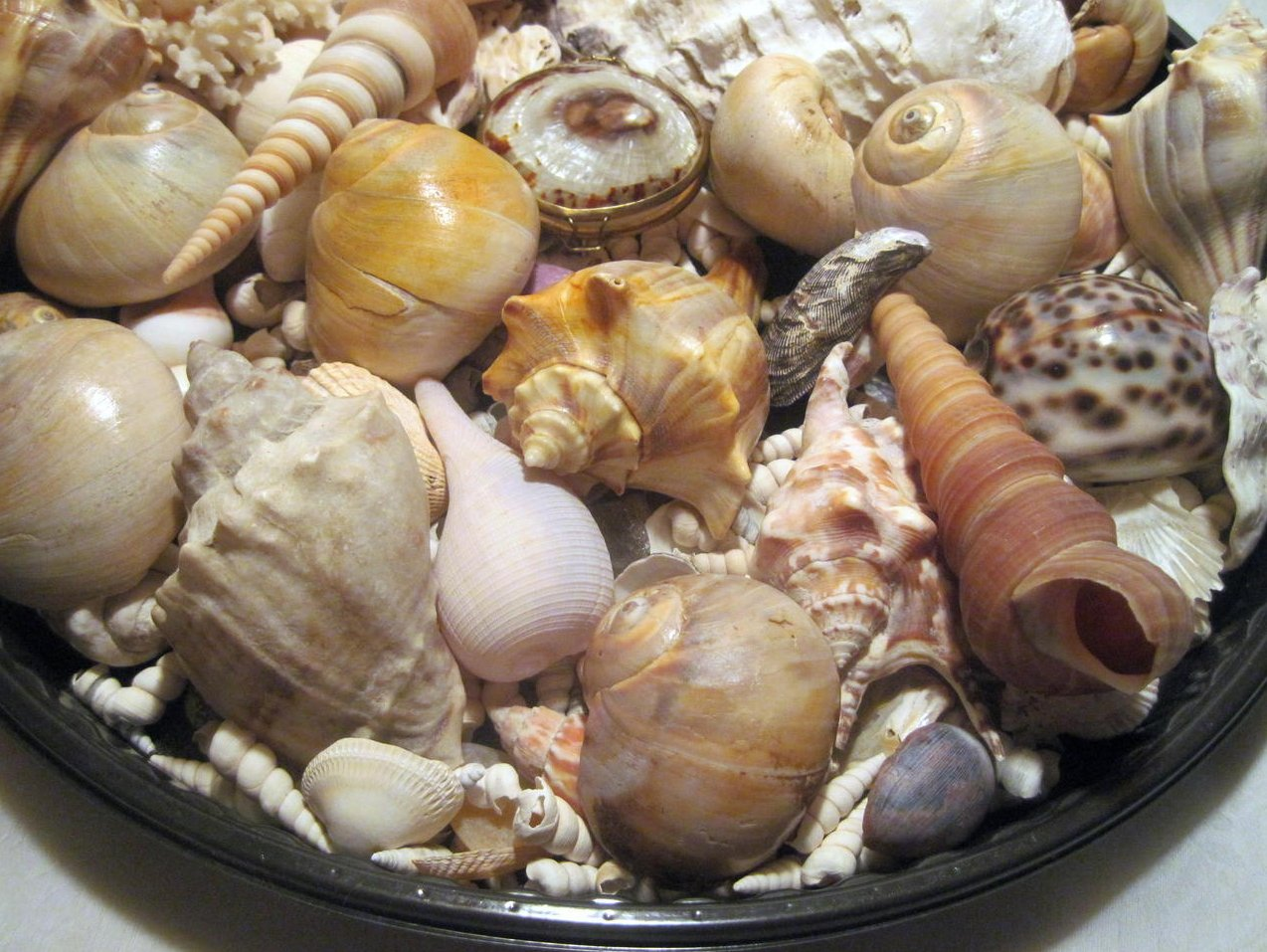 Image 1 of Sea Shell Collection Aquarium Crafts Decor Large Lot