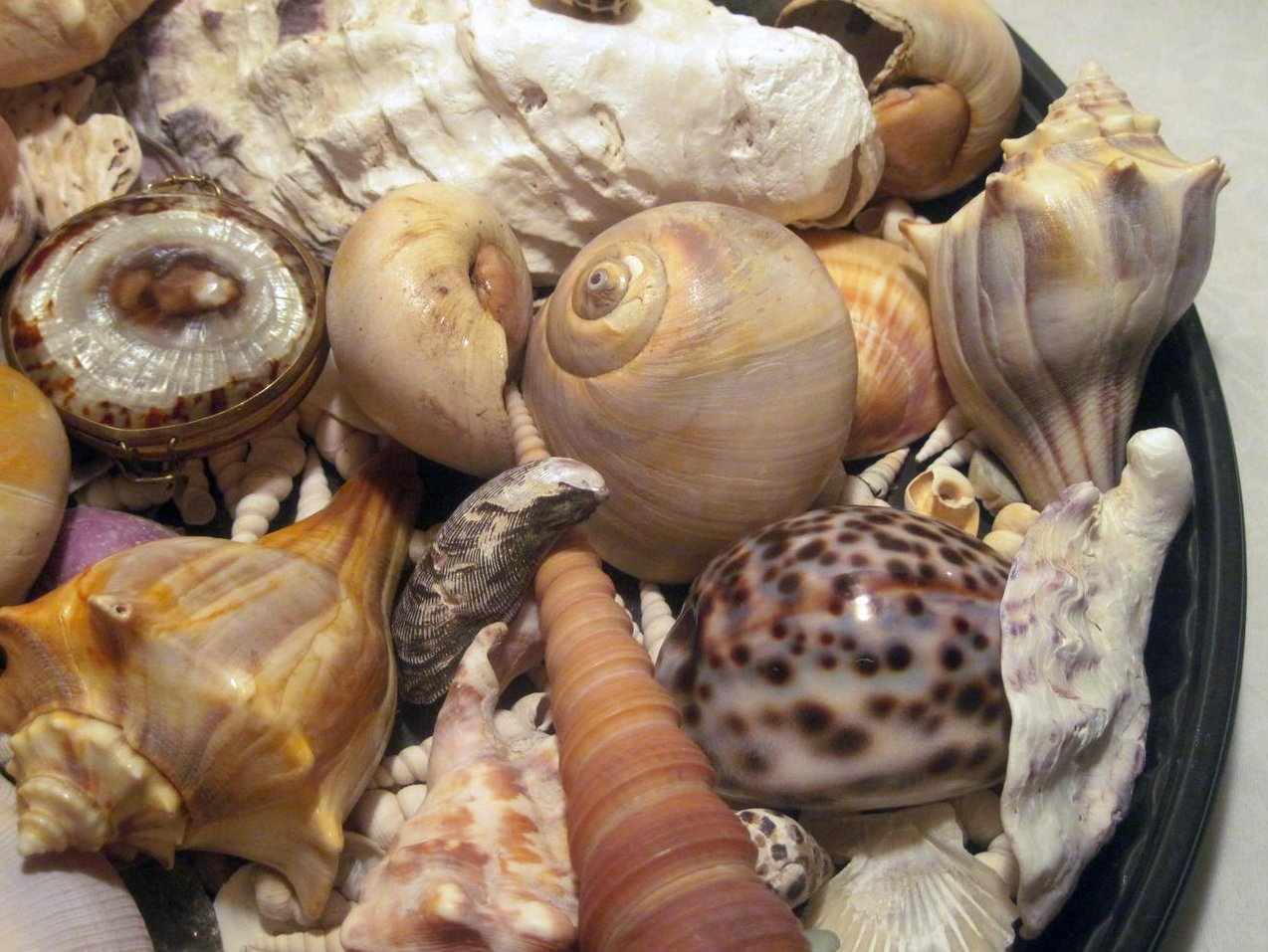 Image 2 of Sea Shell Collection Aquarium Crafts Decor Large Lot