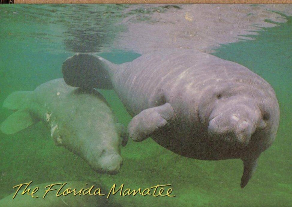 The Florida Manatee, Florida Postcard